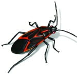 box-elder-bug-illustration_1500x1200